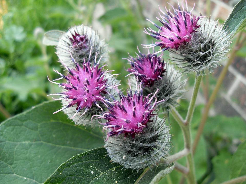 kvetoucí bodláky